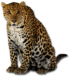 View All Leopards Product Listings