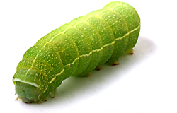View All Caterpillars Product Listings